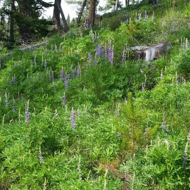 Lupines Are Blooming